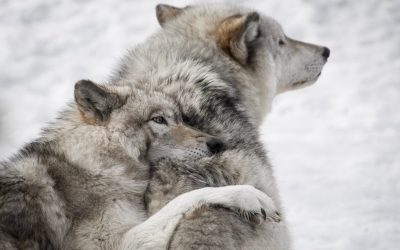 Are you a toxic alpha wolf or a connected human being?